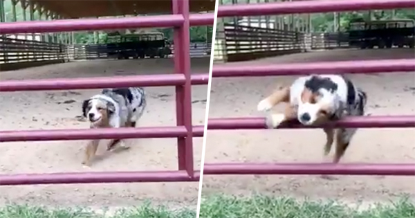 Agile Dog Jumps Through The Bars Of A Gate Matrix-Style—And Becomes A Twitter Sensation