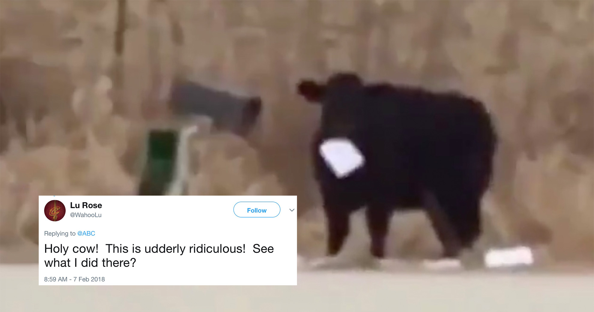 Iowa Cow Escapes Its Enclosure—And Proceeds To Eat The Family's Mail