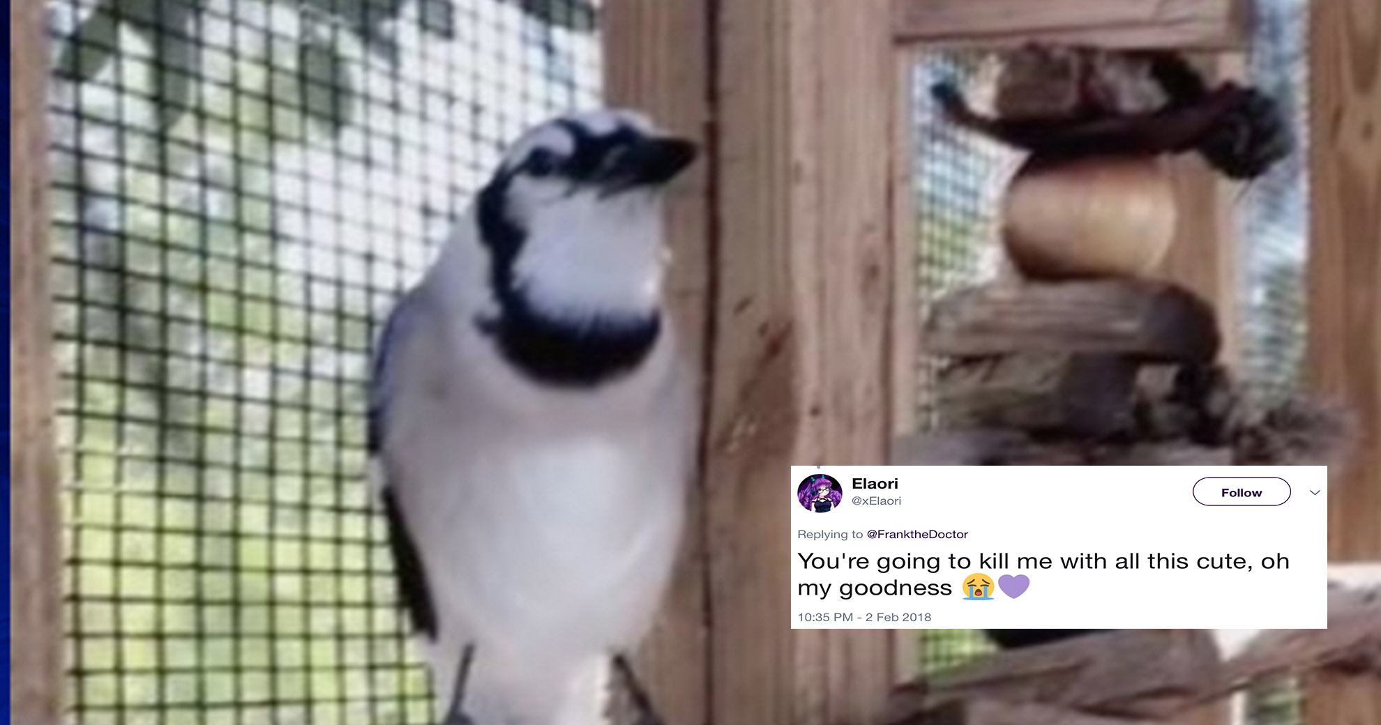 This Blue Jay Raised By Cats Now Meows Instead Of Tweeting