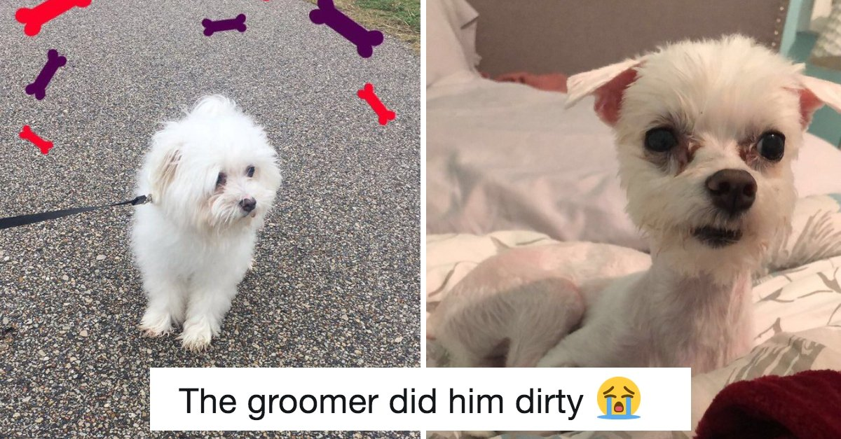 10+ Hilarious Before And After Pictures Of Doggos That Have Been Ruined By Pet Groomers