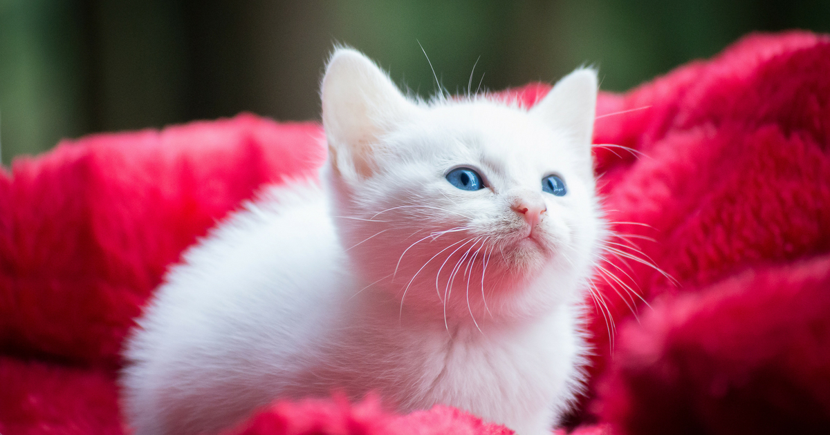 Kittens Euthaniszed in CDC Experiment, Parasite Research Kills Kittens