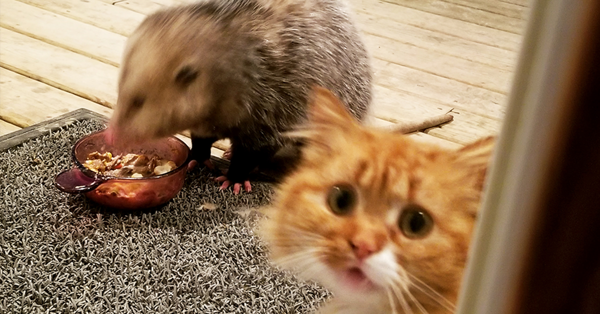 This Cat's Reaction To A Possum Stealing Her Dinner Gets Increasingly Better With Every Photo